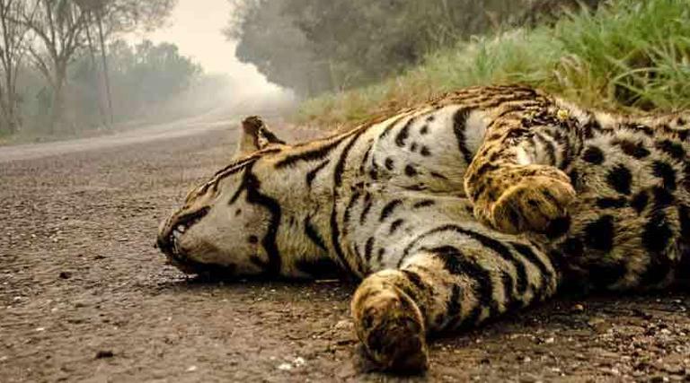 """Agentes sugerem criação de """"Samu silvestre"""" para resgatar animais no Pantanal"""