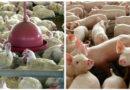 Abate de aves e suínos sob SIF aumentou cerca de 6%, aponta relatório