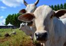 PNEFA: Plano Estratégico projeta MS para status livre de febre aftosa sem vacinação