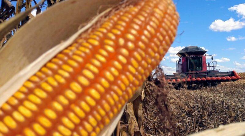 Com alta no mercado internacional, saca do milho em Mato Grosso do Sul valoriza 130% em um ano